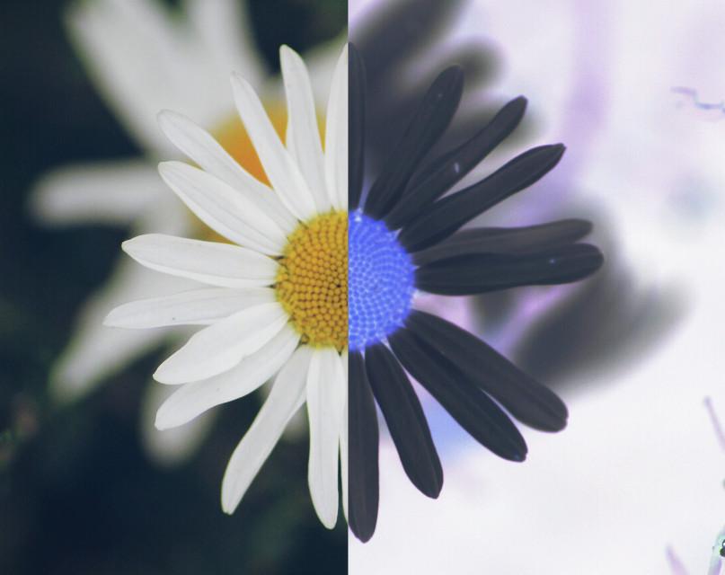 #negativeeffect  #daisy #flower #colorful #photography