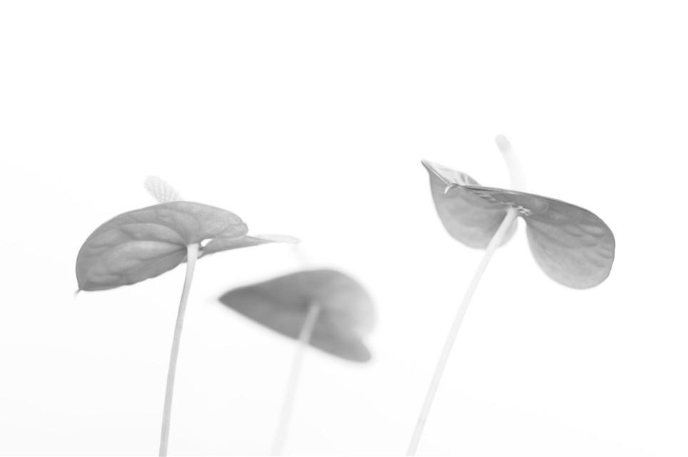 #heartshaped #flowers #hearts #black&white #plant