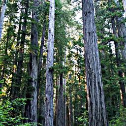 trees californiaredwoods woods roadtripping
