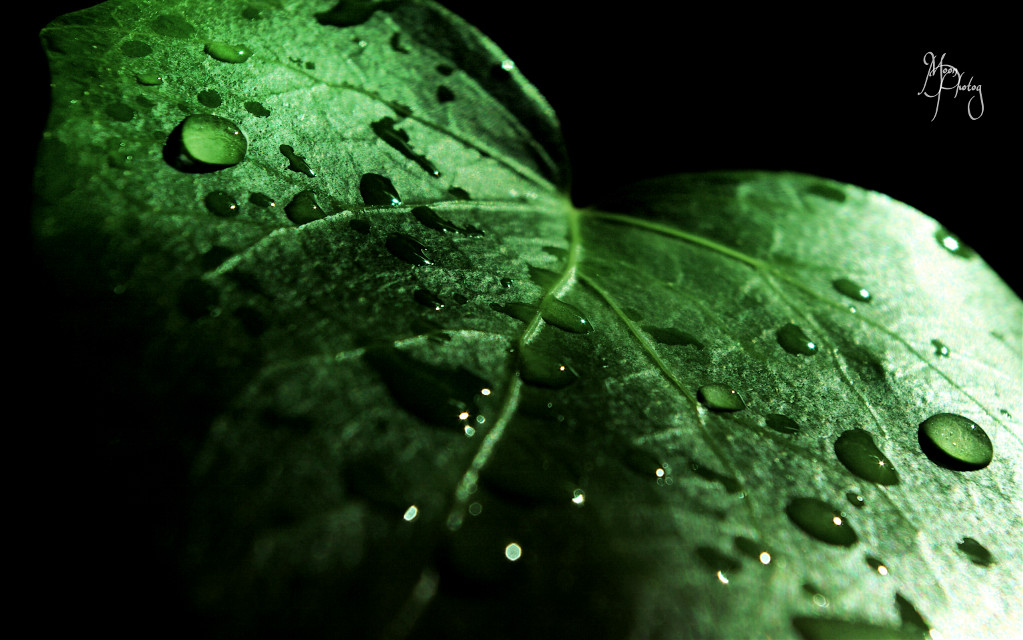 #wppwaterdrops #leaf #green #macro #drops #photography