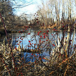 red berries pond ice