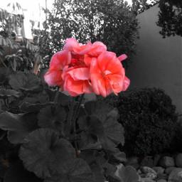 flower flor rosa nature plantas