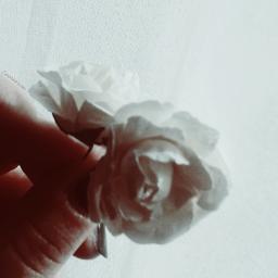 whiteonwhite white americanbeauty rose roses