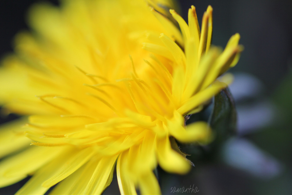 #flower #nature #photography #macro #yellow