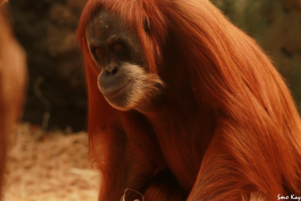 #orangutan #monkey #photography #nature #petsandanimals #animals #zoo #cute #ape