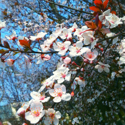 plumblossom spring nature colorful flower