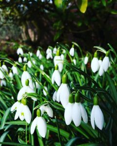 snowdrops flower spring nature