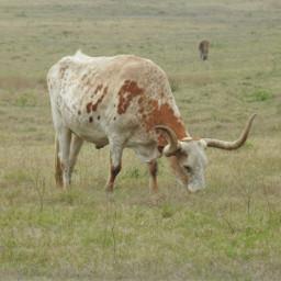 freetoedit longhorn cattle texas texaslonghorns