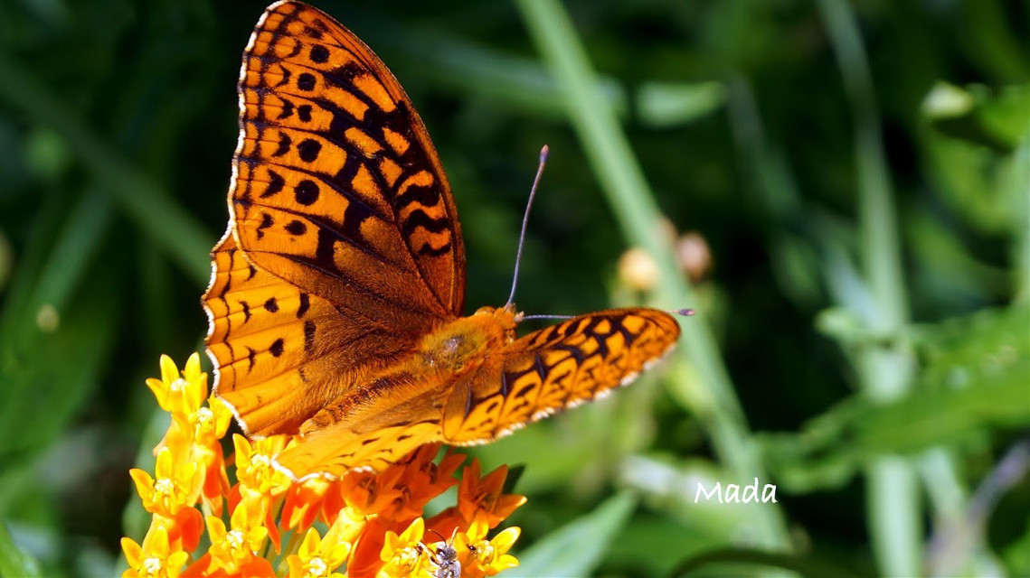This butterfly was my obsession last year.  #bokeh #colorful #nature #oldphoto #photography #spring #beautiful #flowers #closeup #orange  #butterfly  #insect