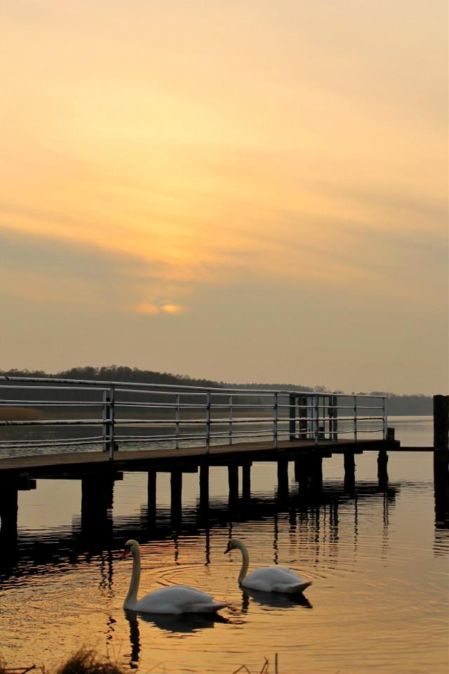 """""""Manchmal ist der Holzweg gar nicht so schlecht. Zum Beispiel wenn er in ein Meer führt und Steg heißt.""""  #swan #emotions #idyllic #sunset"""