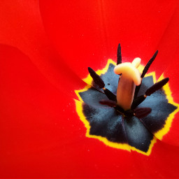 nature tulip flower colorful red