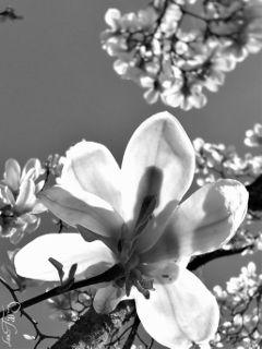 light blackandwhite flower nature