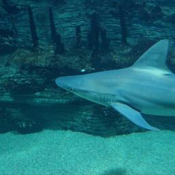 shark blue water fantastic animals